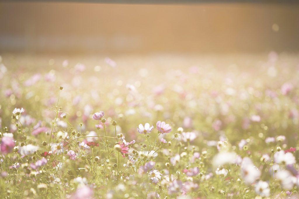 fleurs sauvages à planter Souriez rose naturopathie